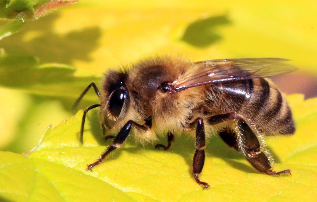5 dingen die je niet wist over bijen