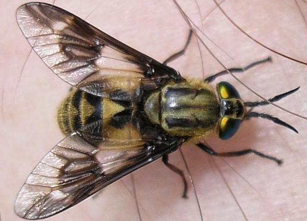 Horzel vs. Hoornaar wat is het verschil?