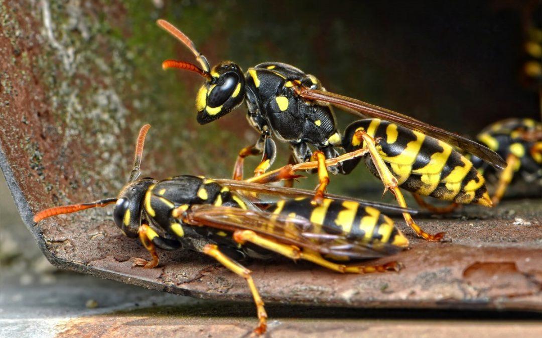 5 Dingen die je niet wist over wespen